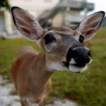 Deer_Closeup
