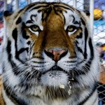 Mike-vi-lsu-tiger-cage