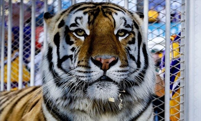Mike The Tiger More Inclined To Attend Lsu Games With Brandon Harris As Starting Qb The Red Shtick